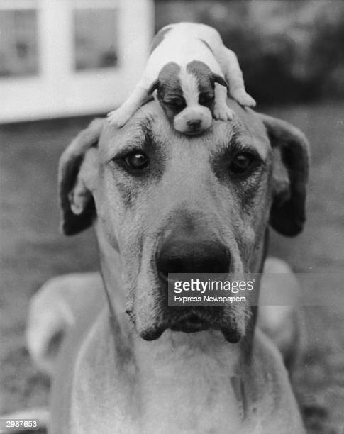 The best way to keep a puppy out of harm's way circa 1950