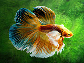 The Betta Siamese fighting fish, Betta splendens Pla-kad ( biting fish ) Thai. (Halfmoon fancy white red betta ) in motion on fresh water weeds background