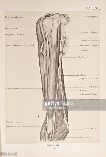 The biceps is the largest and most prominent muscle of the front of the arm 1899 From 'The Treatise of the Human Anatomy and Its Applications to the...
