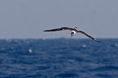 A Black-capped Petrel, Pterodroma hasitata flying