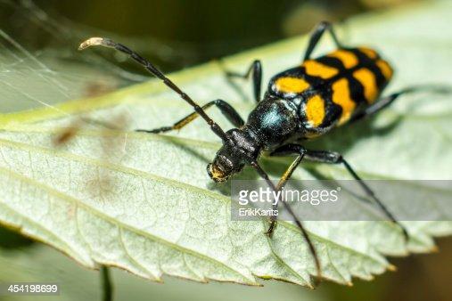 Los alicates blackspotted apoyo escarabajo (Rhagium mordax) : Foto de stock