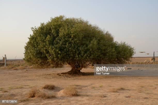 The Blessed Tree, Jordan.