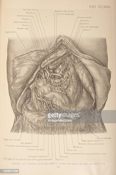 The blood supply of the stomach is derived from the gastric pyloric right and left gastroepiploic arteries and the vasa brevia 1903 From 'Surgical...