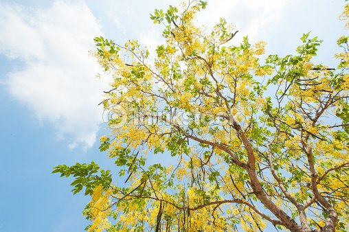 The blooms of esala the beautiful golden yellow flowers stock photo the blooms of esala the beautiful golden yellow flowers stock photo mightylinksfo