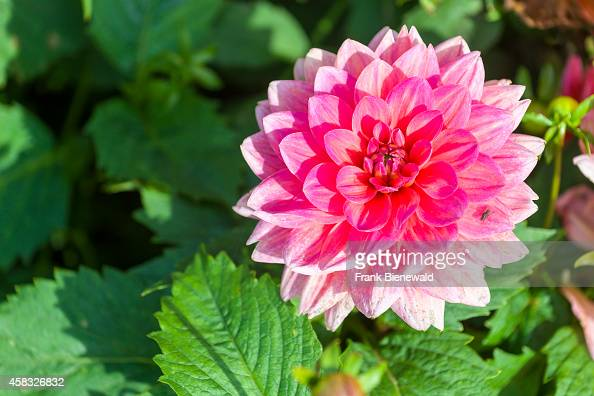 The blossom of a dahlia named 'Berliner Kleene'