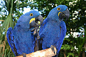 A pair of Hyacinth Macaws ham it up for the camera