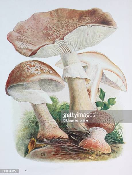 The blusher is the common name for several closely related species of the genus Amanita A rubescens digital reproduction of an ilustration of Emil...