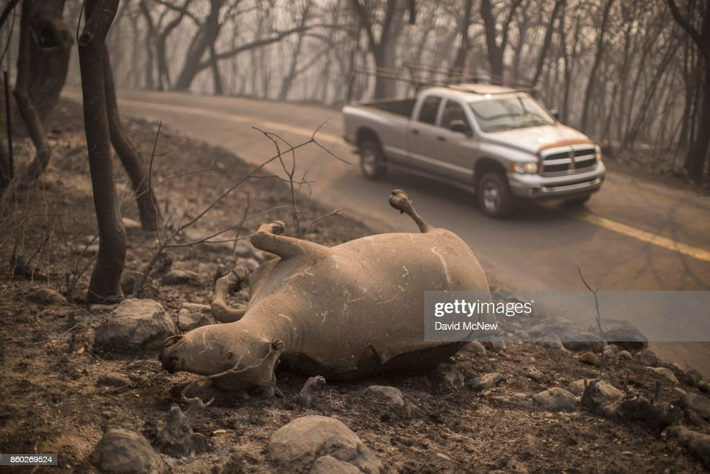 The body of a cow that died in the Atlas Fire is seen in Soda Canyon on October 11, 2017 near Napa, California. In one of the worst wildfires in state history, more than 2,000 homes have burned and at least 21 people have been killed as more than 14 wildfires continue to spread with little containment in eight Northern California counties.
