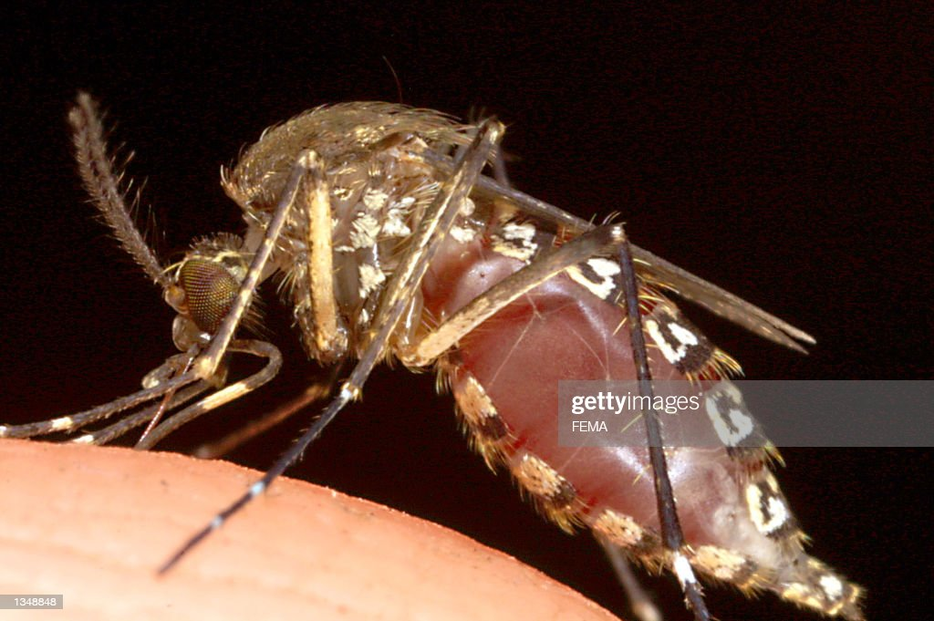 The body of a female mosquito fills up and balloons as she sucks blood from the photographer's hand at Everglades National Park August 12 2002 in...