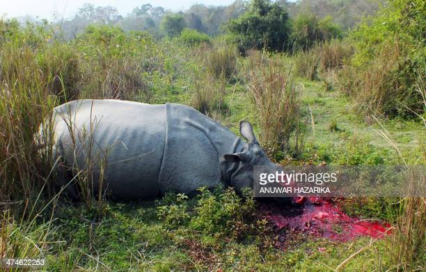 The body of a rhinoceros which was killed and dehorned by poachers lies on the ground in India's Burapahar range of Kaziranga some 250 kms east of...
