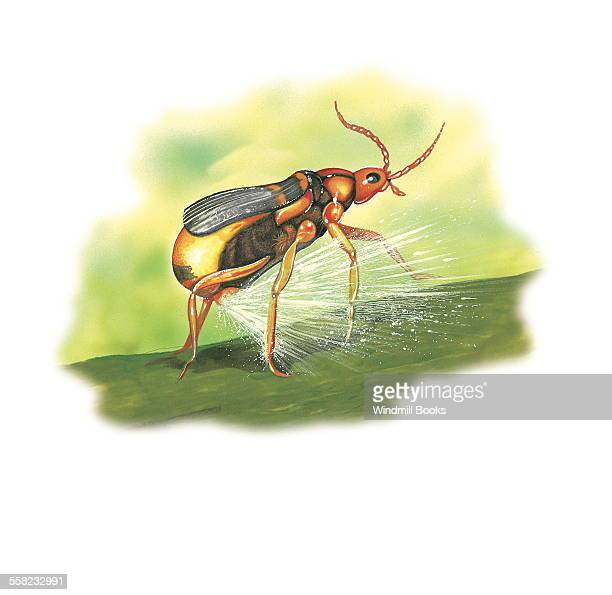 The Bombardier beetle spraying its hot noxious chemical spray