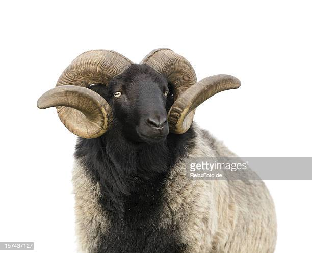 The boss -  Ram with twisted horns isolated on white
