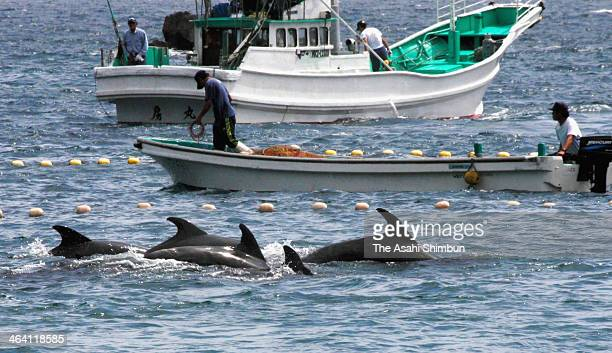 The bottlenose dolphins are seen captured by traditional drive hunting in Taiji Cove the location of the film 'The Cove' on September 2 2010 in Taiji...