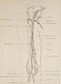 The brachial artery the continuation of the axillary begins opposite the lower border of the tendon of the teres major 1899 From 'The Treatise of the...