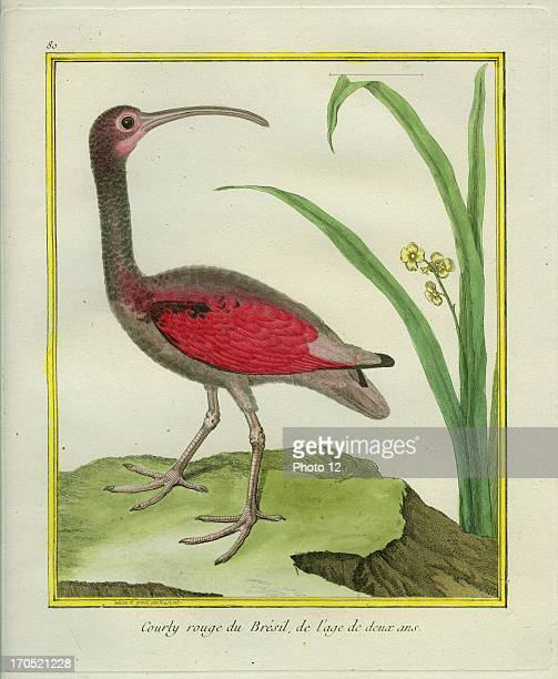 The Brazilian Red Curlew Numenius arquataBrazilian Red Curlew at 2 years old GeorgesLouis Leclerc Comte of Buffon 'Natural History of birds fish...
