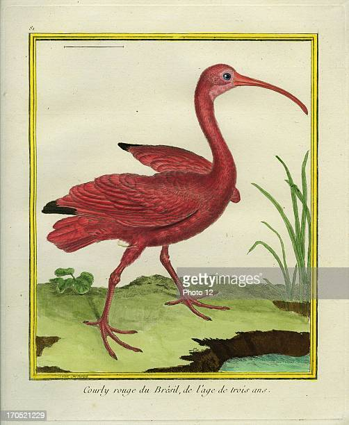 The Brazilian Red Curlew Numenius arquataBrazilian Red Curlew at 3 years old GeorgesLouis Leclerc Comte of Buffon 'Natural History of birds fish...