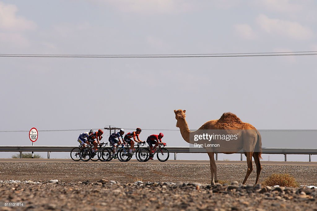 The breakaway group pass a camel during stage three of the 2016 Tour of Oman, a 176.5km road stage from Al Sawadi Beach to Naseem Beach, on February 18, 2016 in Naseem Beach, Oman.