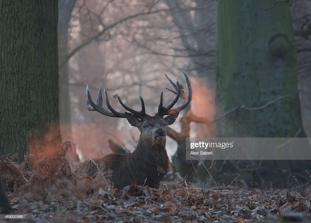 The breath of a red deer buck, Cervus elaphus, in winter. : Stock Photo