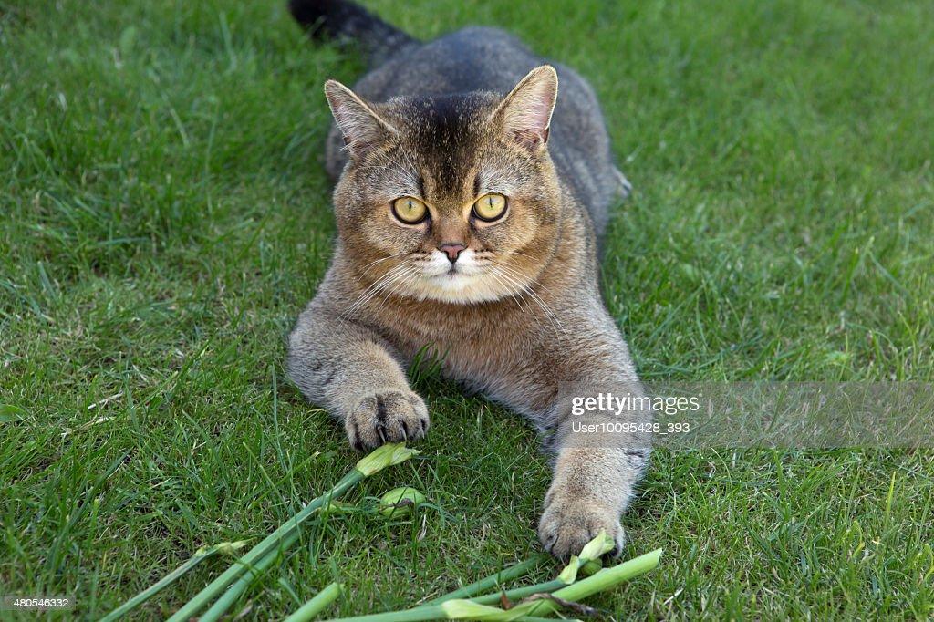 A raça britânica de gatos (cor dourada chinchilla : Foto de stock