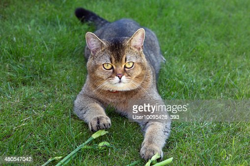 The British breed of cats (color Golden chinchilla) : Stock Photo