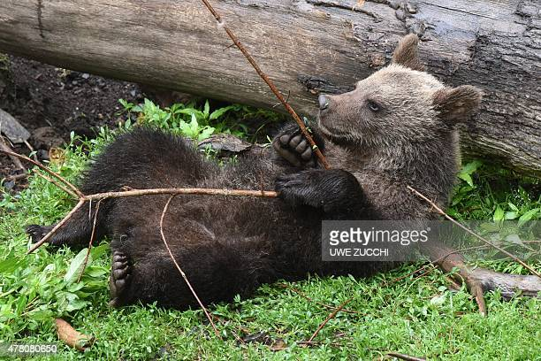 The brown bear cub Alexa frolics next to a tree trunk on June 22 2015 in the wildlife park Knuell in Homberg west Germany Brown bears and wolves are...