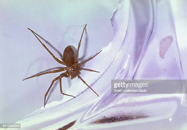 The Brown Recluse spider Loxosceles reclusa has a distribution throughout North America 1962 Though death due to a Brown Recluse bite is rare there...
