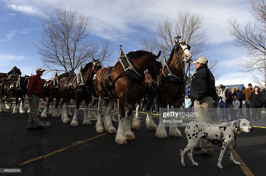 The Budweiser Clydesdale horses and 'Brady' the Dalmatian moments before heading out for a public tour around the Anheuser-Busch tour center parking lot in Ft. Collins Wednesday afternoon. The Anheuser-Busch West Coast traveling hitch got a break from a strenuous travel schedule Wednesday to strut their stuff after returning from Los Angeles after filming a Super Bowl commercial. Hundreds of horse lovers gathered to get a rare glimpse of the team that used to be based in Ft. Collins, but now their stables and training program resides in New Hampshire. Andy Cross,The Denver Post