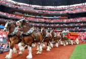The Budweiser Clydesdales trot around the warning track during the pregame ceremony for Opening Day on April 8 2013 at Busch Stadium in St Louis...