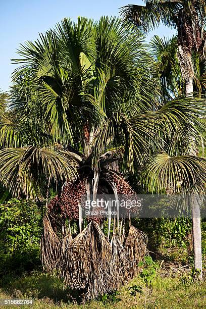 The Buriti tree in Maranhao State northeastern Brazil also known as Moriche Palm Mauritia flexuosa the Ite Palm or Ita it is a palm tree and grows in...