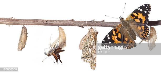 El Metamorphosis de Chrysalis Butterfly de mariposa