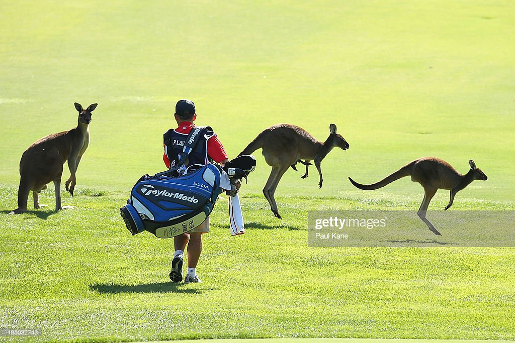 The caddy of Peter Lawrie from Ireland walks amongst kangaroo's on the 6th fairway during day one of the Perth International at Lake Karrinyup Country Club on October 17, 2013 in Perth, Australia.