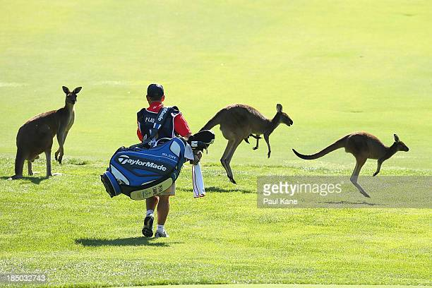 The caddy of Peter Lawrie from Ireland walks amongst kangaroo's on the 6th fairway during day one of the Perth International at Lake Karrinyup...