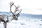 Beautiful reindeer up in the Aviemore Mountain, with no string attach.