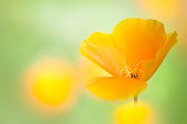 The Californian Poppy