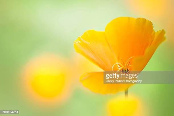The Californian Poppy