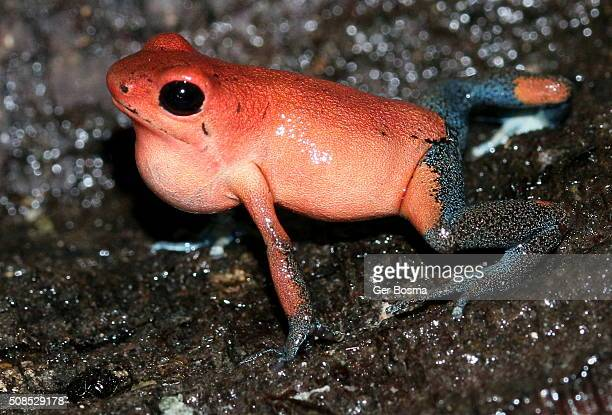 The Call of the Strawberry Poison Frog