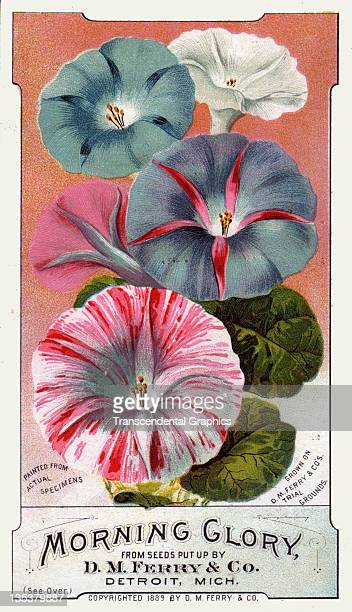 The Calvert Litho Company includes morning glory flowers in its series of seed trade cards issued for the D M Ferry company and printed circa 1880 in...