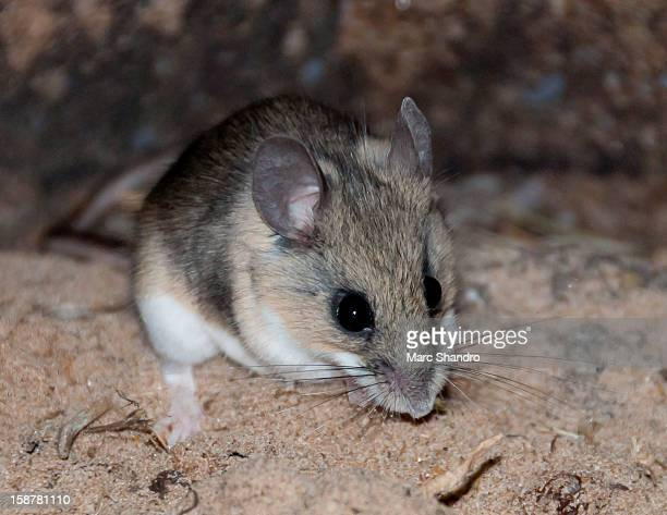 The Camp Deer Mouse