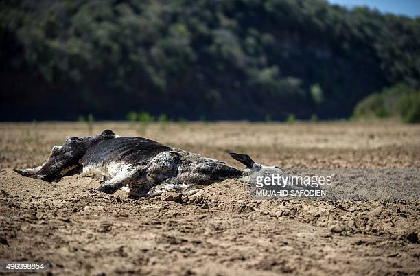 The carcass of a dead cow lies in the Black Umfolozi River dry from the effects ot the latest severe drought in Nongoma district north west from...