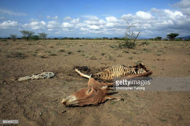 The carcass of a donkey lies in a dry riverbed the victim of drought The death of a hardy donkey is a serious sign of food and water crisis for...