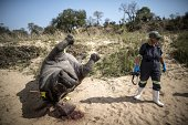 The carcass of a poached and mutilated white rhino lies on the banks of a river as a South African Police Services forensic investigator works on the...