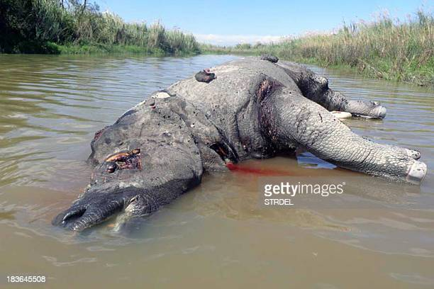 The carcass of a rhino suspected to have been killed by poachers lies in a canal with its horn removed in Kaziranga National Park some 250 kms east...