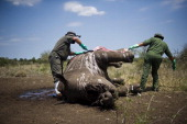 The carcass of one of the two rhinos found near Letaba camp after it was shot on November 27 2013 in The Kruger National Park South Africa A...