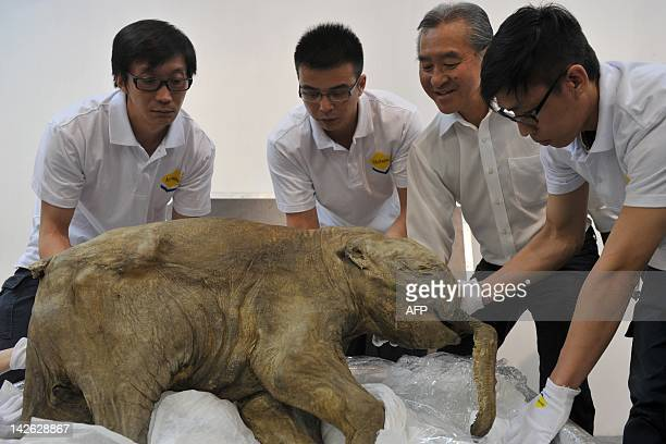 The carcass of the world's most wellpreserved baby mammoth named Lyuba is displayed in Hong Kong on April 10 2012 Lyuba whose carcass is 42 thousand...