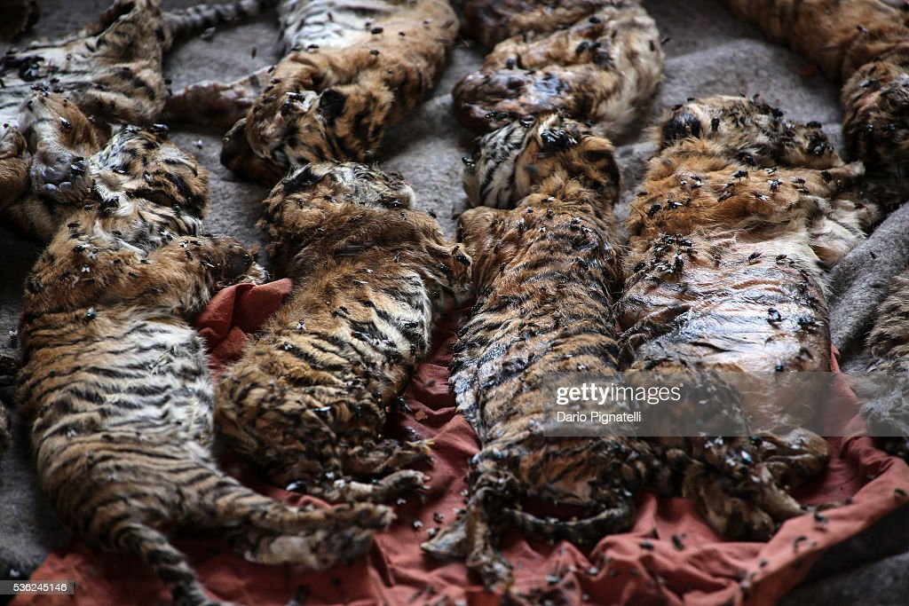 The carcasses of 40 tiger cubsfound undeclared are displayed at the Wat Pha Luang Ta Bua Tiger Temple on June 1, 2016 in Kanchanaburi province, Thailand. Wildlife authorities in Thailand raided a Buddhist temple in Kanchanaburi province where 137 tigers were kept, following accusations the monks were illegally breeding and trafficking endangered animals. Forty of the 137 tigers were rescued by Tuesday from the country's infamous 'Tiger Temple' despite opposition from the temple authorities.