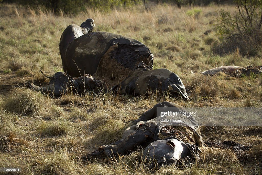 The carcasses of a rhino and her calf at the Finfoot Lake Reserve on November 24, 2012 in North West, South Africa. Eight rhino on the farm were slaughtered by poachers.