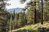 The Cascade foothills through Ponderosa Pine trees