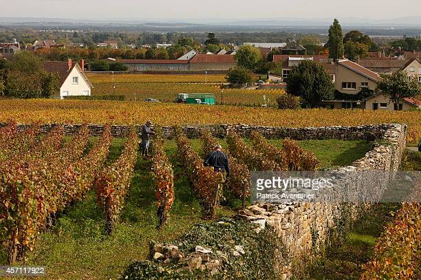 The castle wall surrounds the vineyards in GevreyChambertin on October 10 2014 in GevreyChambertin France In the village of GevreyChambertin in...