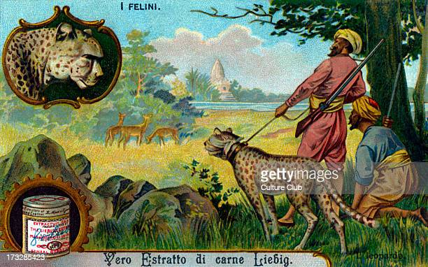 Leopard illustration on Liebig collectible card Early 20th century Being used to hunt game