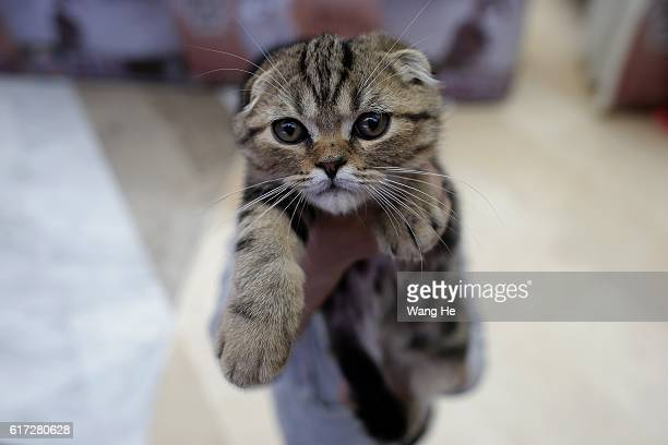 The Cat owners holding a Scottish Fold cat during the 5th TICA international cat show at the Aoshan Shiji Plaza on October 22 2016 in Wuhan Hubei...